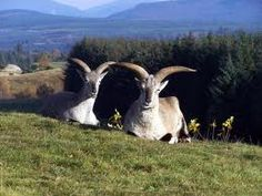 blue sheep bharal - Google Search