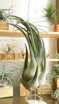 Love the idea of air plants tillandsia seleriana.