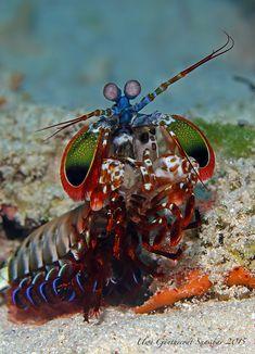 Die Gottesanbeterin der Meere -  Fangschreckenkrebs