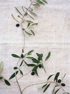 simply-divine-creation: Olive branches » Con Poulos