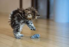 """But the Kitten, how she starts, crouches, stretches, paws, and darts!"" – William Wordsworth"