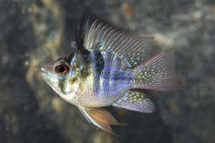 CICH RAM BLUE BALLOON REG  Microgeophagus ramirezi