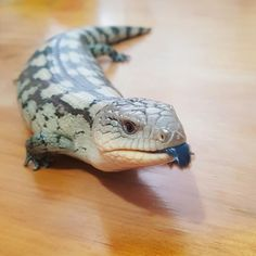 Bae and her little blue tongue poking out. Shes a happy little lizard