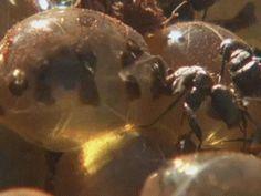 Honey Ant 02