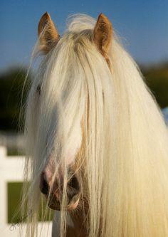 palomino Gypsy horse