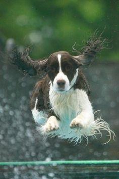 English Springer Spaniel Dog---beautiful