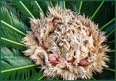 Cycas revoluta - King Sago Palms - pollination and seed growing.