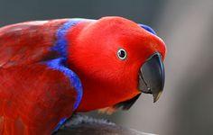 オオハナインコ Eclectus parrot (Eclectus roratus) female