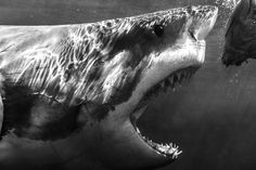 Gourmand Great White Shark, Carcharodon carcharias by Todd Bretl, via Flickr