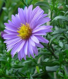 Aster - September flower - These perennial flowers grow well in average soils, but need full sun. Aster flowers come in blues, purples and a variety of pinks. All Asters are yellow in the center of the flower.