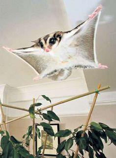 Cute Flying Exotic Pet Sugar-Glider / trendhunter.com