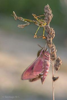 "Mantis palo y polilla: ""Empusa pennata"" y ""Hyles tithymali gallaeci"" de Santiago M.C."