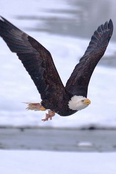 Magnificent eagles follow the wind's icy song to catch one of Alaska's last salmon runs.  (Image by Dr. J.T. McGinn)