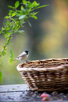 little bird, basket Pretty Birds, Love Birds, Beautiful Birds, Small Birds, Little Birds, Finding Neverland, Backyard Birds, Bird Watching, Bird Feathers