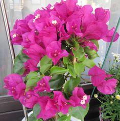 Bougainvillea, Bali, Gardens, Plant, Outdoor Gardens, Garden, House Gardens