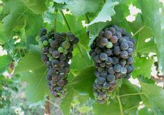 "There is documented proof of the existence of the Aglianico wine grape in Basilicata, Italy as far back as the 6th century. There are three versions of how it got there, and as of press time, there is no concrete DNA proof of what is correct. One theory is that it was brought to Italy from Greece, and is the reason why it is sometimes called ""Ellenico"" meaning ""from Helena,"" a.k.a. Greece. http://www.snooth.com/varietal/aglianico/"