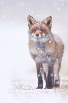 Pim Leijen is an professional nature photographer from The Netherlands, who shoots a lot of wildlife, landscape and animal photography. Nature Animals, Animals And Pets, Baby Animals, Funny Animals, Cute Animals, Animals In Snow, Wild Animals, Smiling Animals, Beautiful Creatures
