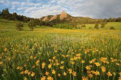 Wild Sunflowers in Chautauqua Park Boulder, Colorado_ USA
