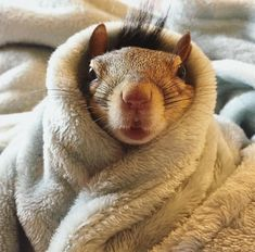 Squirrel ❤️ Snug as a bug in a rug! Super Cute Animals, Cute Baby Animals, Animals And Pets, Funny Animals, Cute Squirrel, Baby Squirrel, Squirrels, Squirrel Memes, Little Critter