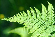 Silver ferns