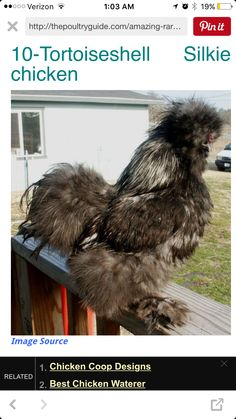 Tortoise shell silkie chicken Poultry Breeds, Chicken Images, Chicken Waterer, Silkie Chickens, Chicken Coop Designs, Tortoise Shell, Birds, Dogs, Animals