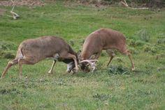 Two bucks fighting - muscles/anatomy