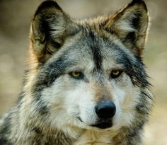 branch////tracker (long distance hunter) Maxine's mate sky's only son Faye's brother, Faye calls him a short fuse  which he is. he loves Maxine very much Faye and Maxine are the only wolfs he enjoys talking to Faye is his bestfriend