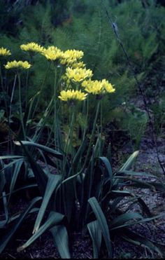Golden Garlic Repels pests and is delicious http://pfaf.org/user/Plant.aspx?LatinName=Allium+moly