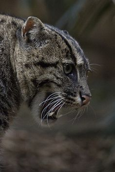 Fishing Cat | by urbanmenagerie Big Cats, Cats And Kittens, Cute Cats, Wild Cat Species, Animals Beautiful, Cute Animals, Spotted Cat, Carnivore, Nature Animals