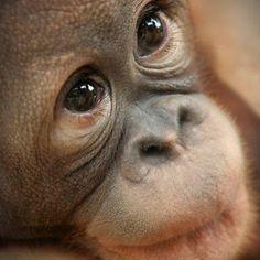 Orangutan ~ Innocence. Beautiful Face.