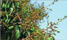 Dhakar Khobor: আমগাছের মুকুলের সুঘ্রাণে মেতেছে বসন্ত