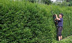 Wer mit einer neuen Hecke kurzfristig einen guten Sichtschutz erreichen möchte, braucht nicht nur schnellwachsende Heckenpflanzen, sondern sollte auch gleich zu größeren Exemplaren greifen. Hier haben wir für Sie die wichtigsten Tipps zusammengefasst.