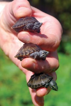 turtles. mine are cuter. well they were when they were wittle babies like this.