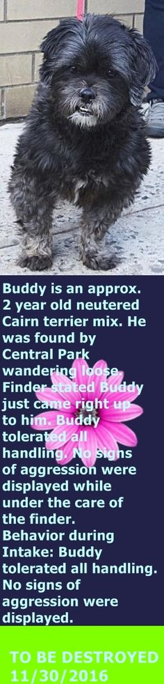 SAFE❤️❤️ 12/1/16 THANK YOU❤️ Manhattan Center My name is BUDDY. My Animal ID # is A1097370. I am a neutered male black and white cairn terrier mix. The shelter thinks I am about 5 YEARS old. I came in the shelter as a STRAY on 11/19/2016 from NY 10025, owner surrender reason stated was STRAY. http://nycdogs.urgentpodr.org/buddy-a1097370/