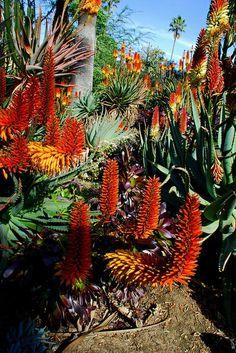 Aloe in Bloom, Desert Garden in Huntington Botanical Gardens in Los Angeles, California