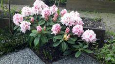 Rhododendron vol in bloei
