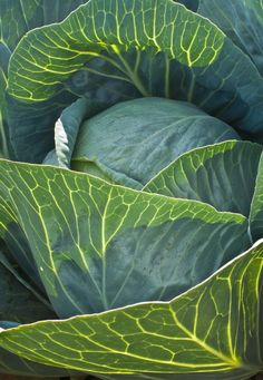 """Very Green"" by alan_sailer on Flickr - This is a photo of a head of cabbage."