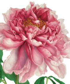 Peony - Natural History Museum greeting card - Sequin Gardens