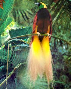 38 best birds of paradise species images on pinterest exotic birds