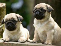 Cute Pug Puppies
