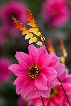 Dahlia 'Fascination' with Ipomoea lobata syn. Mina lobata in the exotic garden at Great Dixter