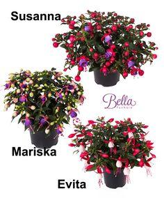 Buy bedding plants now Bella Fuchsia® in 3 Var.