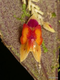 lepanthes iricolor - Google Search Orchids, Warm, Fruit, Google Search, Orchid