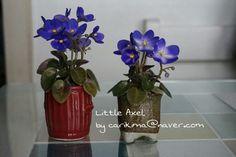 African Violet miniature - Little Axel Axel Saintpaulia, African Violet, Violets, Glass Vase, Miniatures, Blue, Decor, Decoration, Decorating