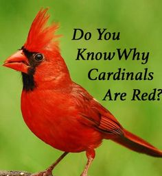 What Gives Northern Cardinals Their Red Color? The Northern Cardinal is one of my favorite birds because of its cheery, bright red plumage. It adds a welcome touch of color during our gray Michigan…