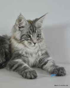 Manni by Shedoros Maine Coon Cattery