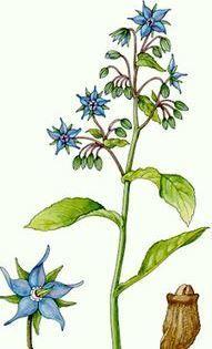 BORRETSCH | BORRAJA | BORAGE (Borago officinalis) | Früher stellte man aus den Blüten auch ein Konfekt her, mit dem Süßspeisen dekoriert wurden. Die Blüten wurden dazu mit Eischnee bestrichen und mit Puderzucker bestreut und anschließend getrocknet. In einfacher getrockneter Form finden die Blüten im Iran vor allem als Tee verwendung (Gol Gav Zaban). Der Tee wird bei Husten und Erkältung eingenommen und gilt als nervenberuhigend.