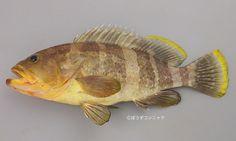 Epinephelus awoara / Yellow Grouper / Banded Grouper / 青石斑魚