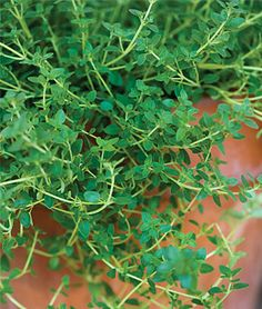 how to grow thyme from seed uk