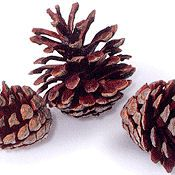 Jack Pine Cones - Natural Jack Pinecones  - More ideas from DriedDecor.com